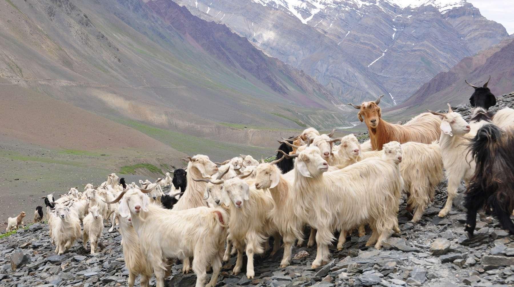 Résultat d'images pour Moutons Cachemire